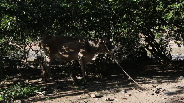 a wide angle shot of a cow that is leached to a tree on a farming area in pilate haiti - afro caribbean ethnicity stock videos and b-roll footage