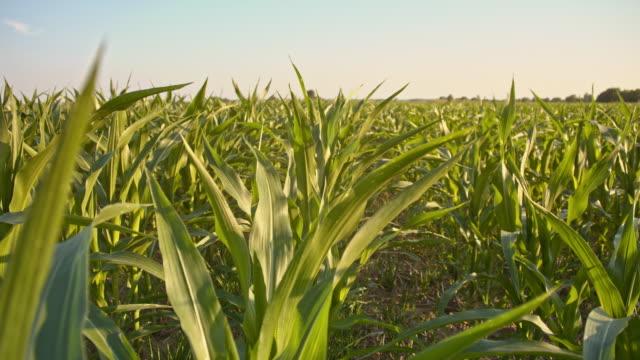 Vidvinkel skott av ett fält av majs