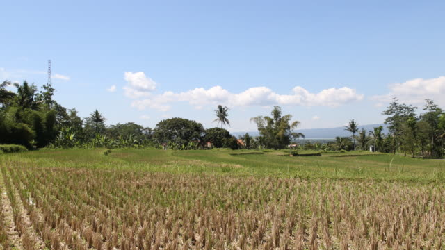 Wide angle shot of a paddy field on Java in Indonesia near Yogyakarta in the background some palms can be seen