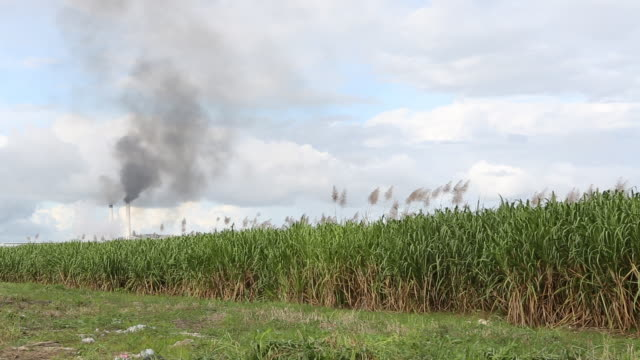 santo domingo dominican republic november 30 2012 a wide angle shot of a sugar cane plantation near santo domingo dominican republic in the... - sugar cane stock videos and b-roll footage