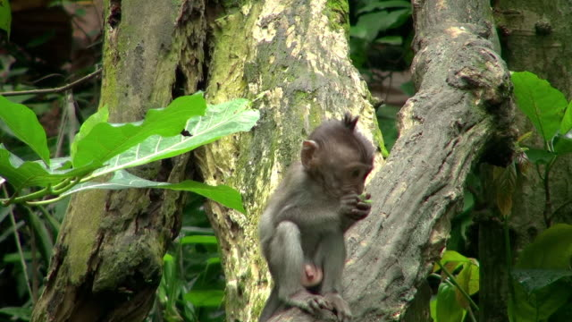 wide angle shot of baby monkey eating - 一隻動物 個影片檔及 b 捲影像