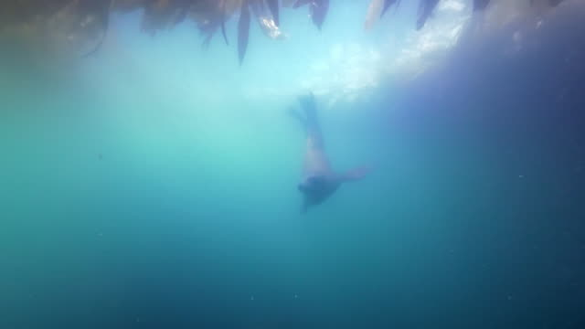wide angle: sun lights up ocean as a sea lion swims under a kelp paddy - monterey, ca - sea lion stock videos & royalty-free footage