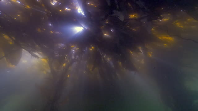 vídeos y material grabado en eventos de stock de wide angle: sun rays trying to shine through the seaweed in the ocean - monterey, ca - quelpo
