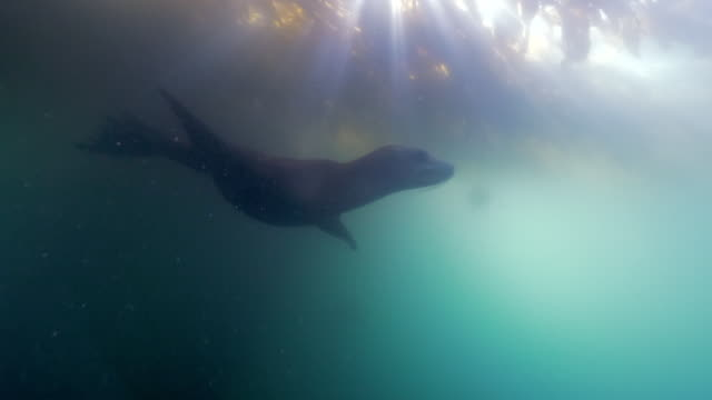 wide angle: sun's rays shine though a kelp paddy as a sea lion swims under - monterey, ca - sea lion stock videos & royalty-free footage
