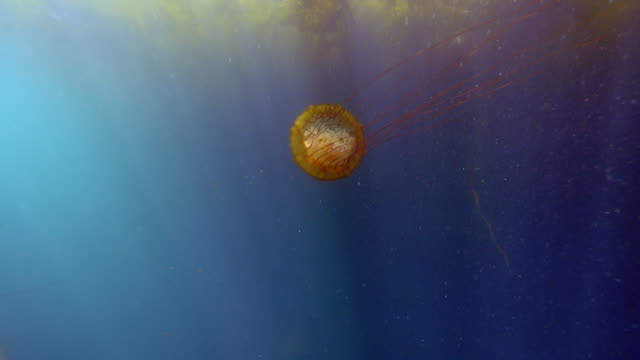 wide angle: the backside of a jellyfish swimming under a kelp paddy - monterey, ca - nettle stock videos & royalty-free footage