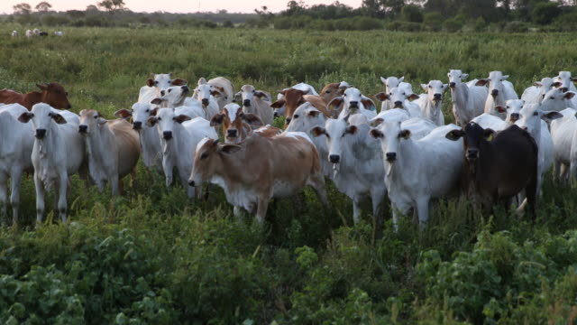 wide angle view of a cattle herd on a meadow of a farm at sunset, the cattle in white and black color skin is looking curious to the photographer. - beef cattle stock videos & royalty-free footage