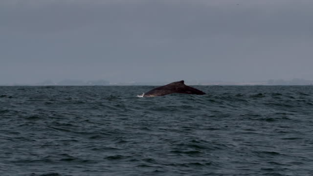 stockvideo's en b-roll-footage met wide angle: whale goes back down into the ocean - monterey, ca - cetacea