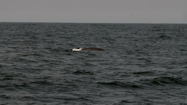 stockvideo's en b-roll-footage met wide angle: whale splashes water as it goes back down into the ocean - monterey, ca - cetacea