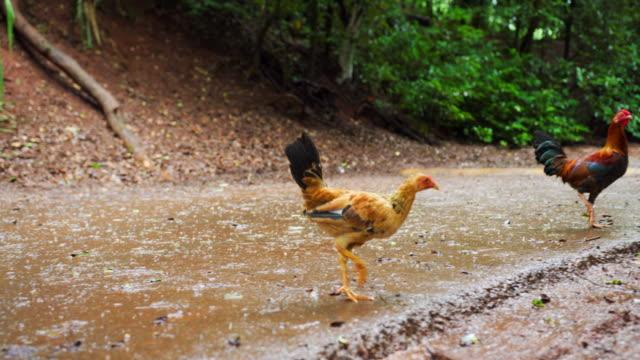 vídeos y material grabado en eventos de stock de wide angle: wild chickens and roosters walking across a dirt path - oahu, hawaii - gallo