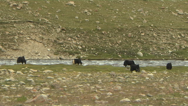 Wide Block Shot Yaks Grazing Near River Lhasa TIbet China