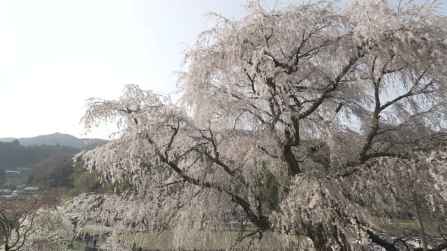 wide, cherry blossom in osaka - satoyama scenery stock videos and b-roll footage