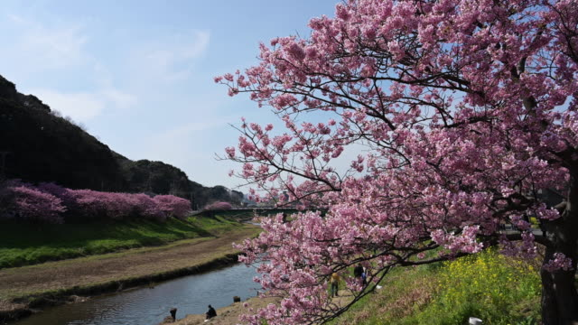 wide, cherry blossoms along river - satoyama scenery stock videos & royalty-free footage