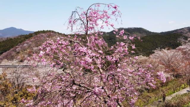 vídeos y material grabado en eventos de stock de wide, colorful countryside in yoshino - árbol de hoja caduca