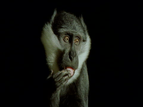 wide eyed l'hoest's monkey licks fingers against black background, africa - chroma key stock videos & royalty-free footage