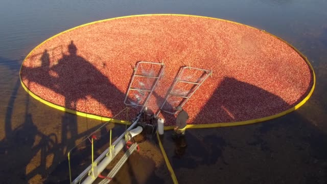 wide footage of a cranberry bog being harvested at cutler cranberry in camp douglas, wisconsin on wednesday, oct. 18, 2017. videographer: daniel... - cranberry stock videos & royalty-free footage