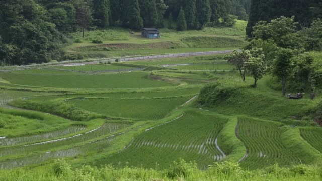 wide high angle views rice grows in terraced paddy fields in yabu city, hyogo prefecture, japan, on wednesday, june 25 rice plants grow in a paddy... - satoyama scenery stock videos & royalty-free footage