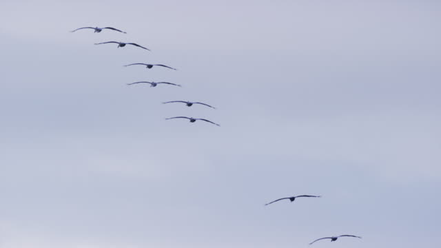 """Wide low angle tracking shot of pelicans flying in sky / Esterillos, Punta Arenas, """