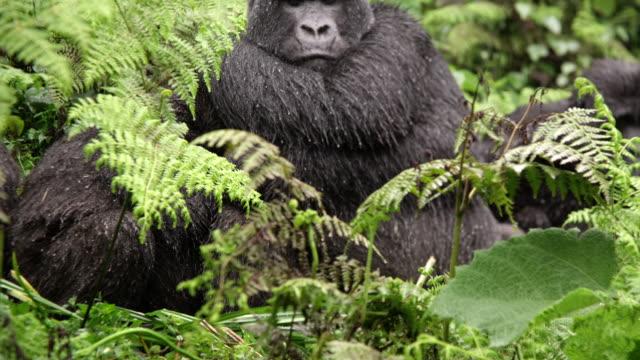 Wide - Male Gorilla, Arms Crossed