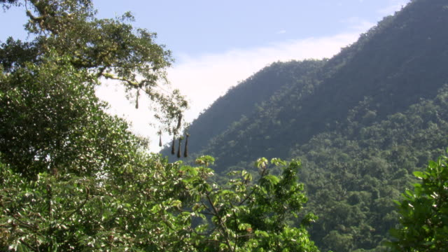 Wide of hanging Oropendola [bird] nest with forested hillside in b/g, Sierra Nevada, Colombia