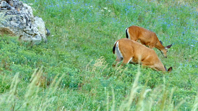 wide pair north american blacktail mule deer doe grazing in wildflower meadow in the columbia river gorge near rowena crest - animal's crest stock videos and b-roll footage