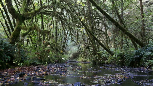 wide pan shot beautiful and mysterious, lush moss covered alder forest and stream filled with golden autumn leaves. - alder tree stock videos & royalty-free footage