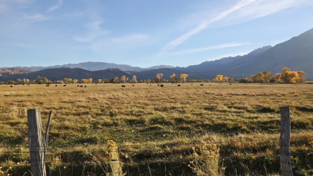 Wide pan shot of black cows in golden grass meadow at sunset with Sierra Nevada mountains and yellow leafed Cottonwood trees in background.