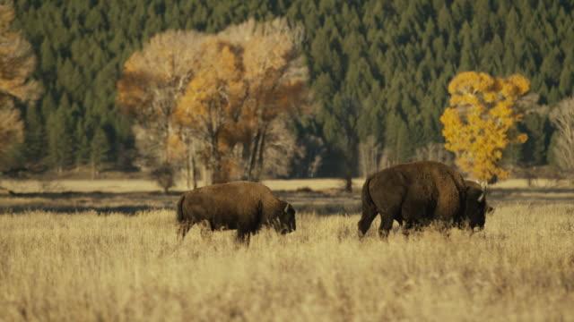 vídeos y material grabado en eventos de stock de wide panning shot of bison walking in field / grand teton national park, wyoming, united states - grupo pequeño de animales