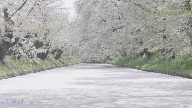 wide, pond of white cherry blossoms petals in hirosaki park - aomori prefecture stock videos & royalty-free footage