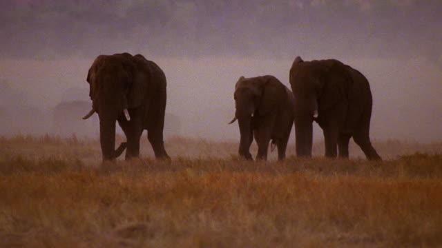 wide shot 3 male african elephants walking across grassy field / herd in mist in background / africa - kleine gruppe von tieren stock-videos und b-roll-filmmaterial