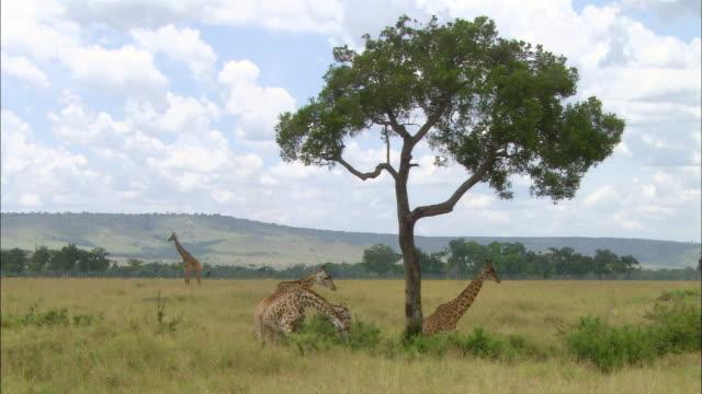 vídeos y material grabado en eventos de stock de wide shot 4 giraffes grazing under tree and 1 walking by in background / masai mara, kenya - cuello de animal