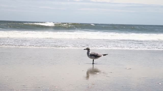 wide shot a seagull is cleaning itself on the beach ocean isle beach atmosphere june 20 2013 - akvatisk organism bildbanksvideor och videomaterial från bakom kulisserna