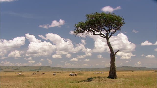 wide shot acacia tree against blue sky with clouds and herd in distance / masai mara, kenya - fyrhjulsdrivet fordon bildbanksvideor och videomaterial från bakom kulisserna