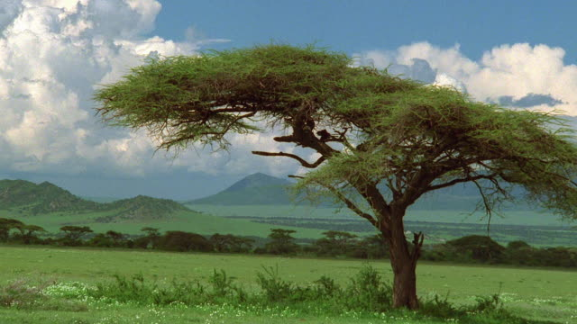 Wide shot acacia tree on plain with mountains in background / Serengeti National Park, Tanzania