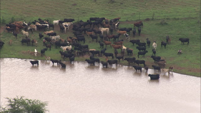 wide shot aerial tracking-right - a herd of cattle gathers at a watering hole. / south africa - 水場点の映像素材/bロール