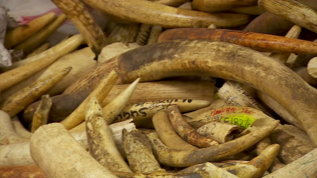wide shot and close-up of a guarded room in kenya with confiscated elephant ivory - elephant stock videos & royalty-free footage