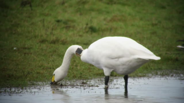 wide shot and closeup of a swan with a gps tracker attached - wildlife tracking tag stock videos and b-roll footage
