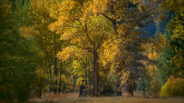 wide shot autumn leaves falling from trees / yosemite national park, california - yosemite national park stock videos and b-roll footage