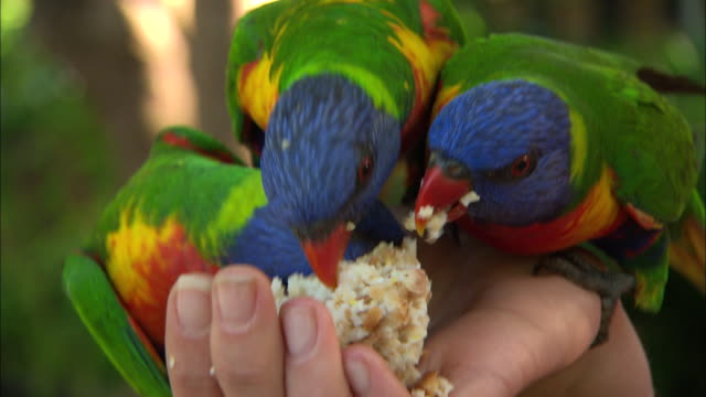 wide shot birds flying amongst trees / various shots lorikeets taking food from unidentified peoples hands - close ups - parrot stock videos & royalty-free footage