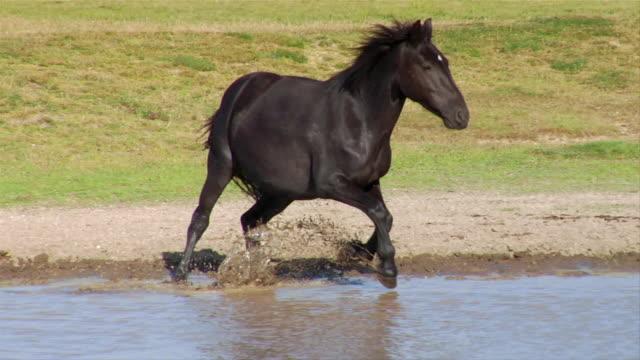 Wide shot Black horse running through waterhole near herd in field/ Italy