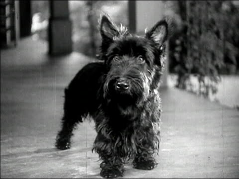 Wide shot black terrier looking at camera/ AUDIO