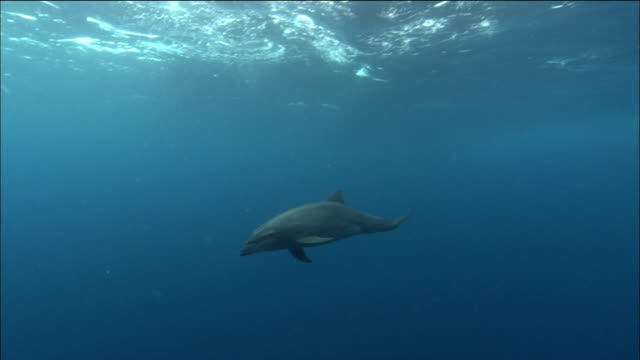 wide shot bottlenose dolphin swimming / cocos islands, costa rica - costa rica stock videos & royalty-free footage