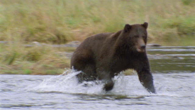 wide shot brown bear chasing after salmon in stream / catching and eating salmon / admiralty island, alaska - bear stock videos and b-roll footage