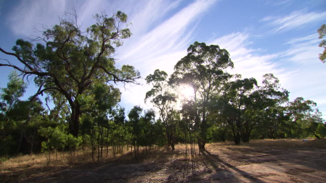 wide shot bushland setting trees and dusty bare earth / close up trees hazy sun filtering through the leaves of various gum trees