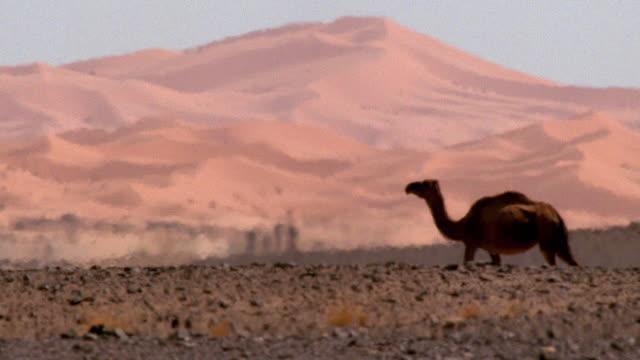 wide shot camel walking behind dune in sahara desert / heat waves / mountains background / morocco - sahara desert stock videos & royalty-free footage