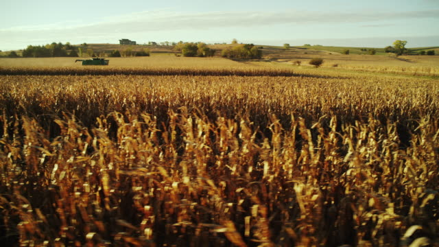 Wide shot, camera travels along rows of corn in a large field and a combine harvesting in the distance.