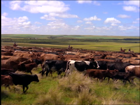 wide shot pan cattle being herded by cowboys on horses across plain / mato grosso, brazil - herding cattle stock videos & royalty-free footage