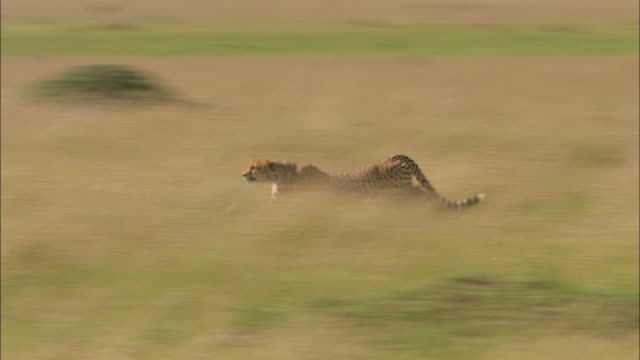 Wide shot cheetah running through tall grass / stopping and looking around / Masai Mara, Kenya