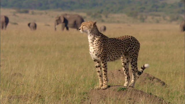 wide shot cheetah standing on mound in and looking around with elephants in background / masai mara, kenya - cheetah stock videos & royalty-free footage
