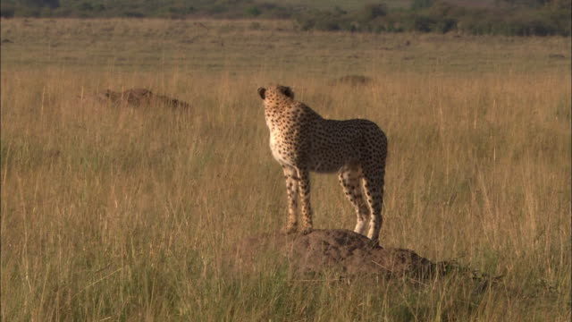 Wide shot cheetah standing on mound of earth in tall grass / looking around / Masai Mara, Kenya