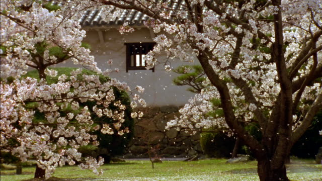 wide shot cherry blossoms being blown by the wind in courtyard of himeji castle with cherry trees  / himeji, japan - 城点の映像素材/bロール